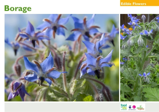 Borage  Edible Flowers