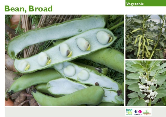 Broad Bean Gardening Guides for Teachers