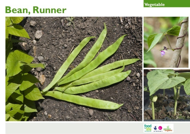 Runner Bean Gardening Guides for Teachers