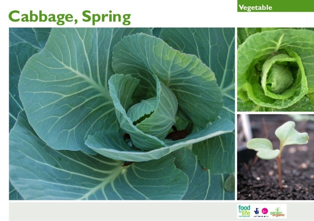 Spring Cabbage Gardening Guides for Teachers