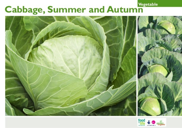 Summer and Autumn Cabbage Gardening Guides for Teachers