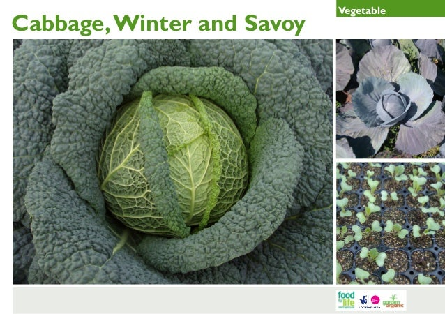 Winter and Savoy Cabbage Gardening Guides for Teachers