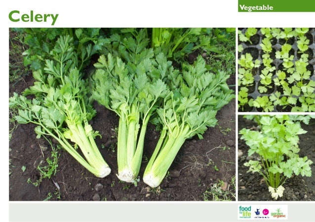 Celery Gardening Guides for Teachers