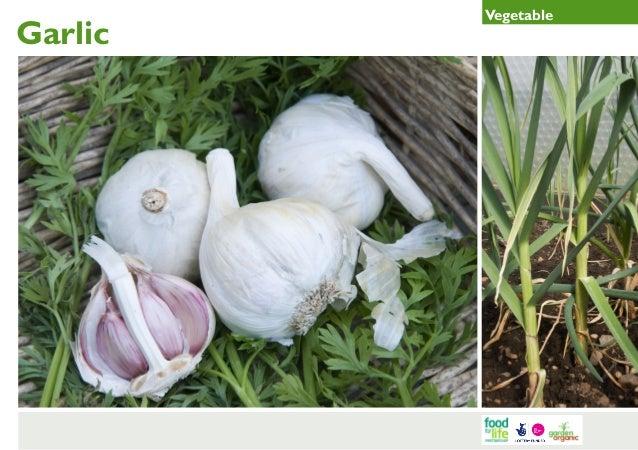 Garlic Gardening Guides for Teachers