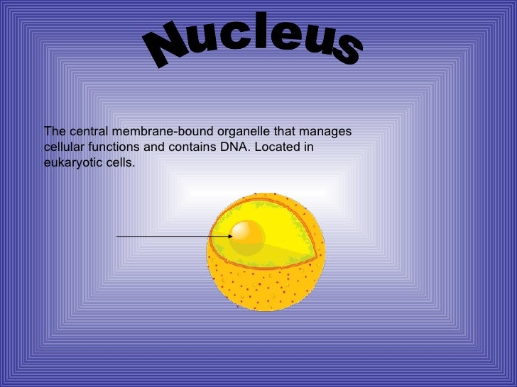 Nucleus The central membrane-bound organelle that manages cellular functions and contains DNA. Located in eukaryotic cells.