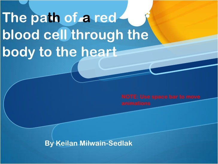The path of a red blood cell through the body to the heart