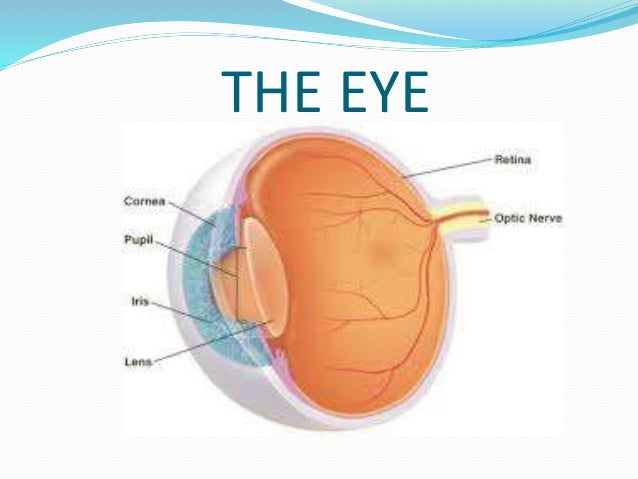 Anatomy of the eye for kids