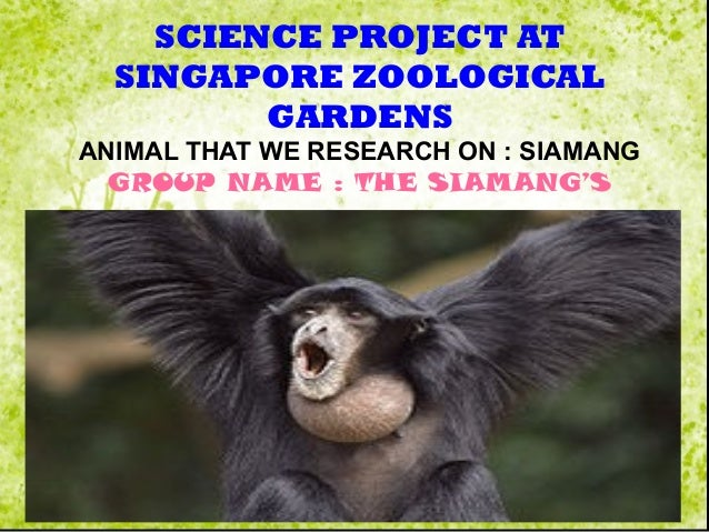 SCIENCE PROJECT AT SINGAPORE ZOOLOGICAL GARDENS ANIMAL THAT WE RESEARCH ON : SIAMANG GROUP NAME : THE SIAMANG'S