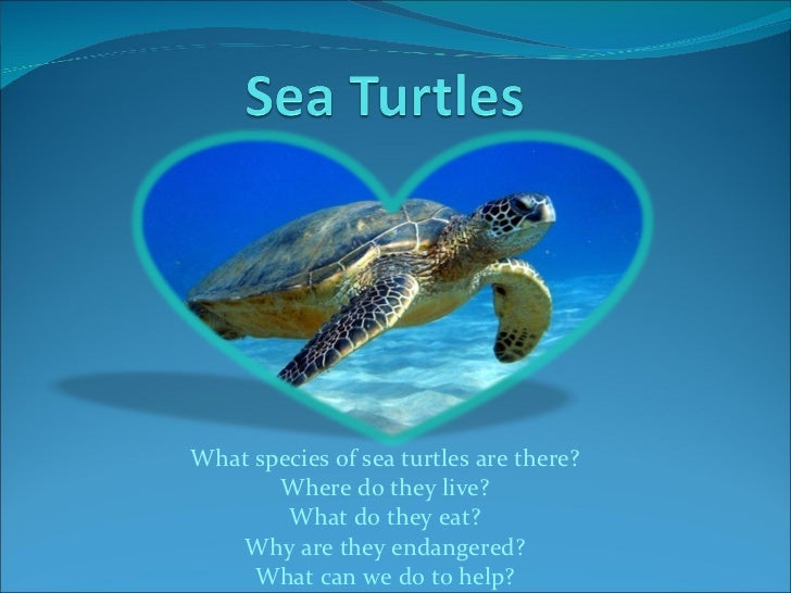 What species of sea turtles are there? Where do they live? What do they eat? Why are they endangered? What can we do to he...