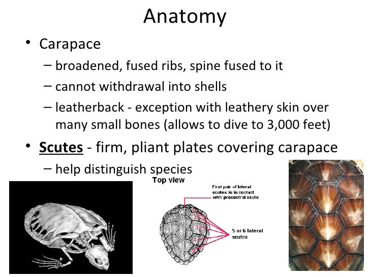 Anatomy of tortoise