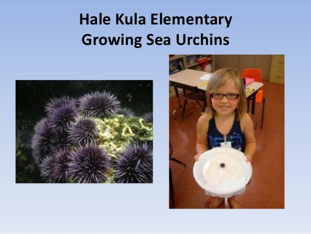 Hale Kula ElementaryGrowing Sea Urchins