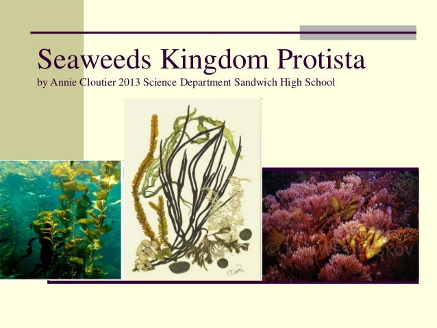Seaweeds Kingdom Protistaby Annie Cloutier 2013 Science Department Sandwich High School
