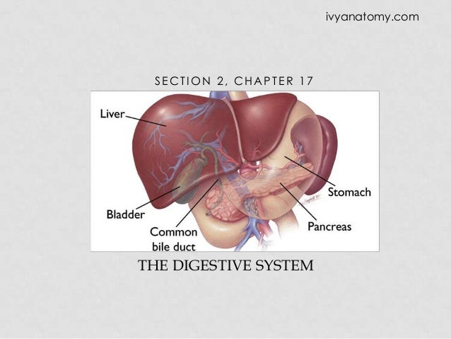 ivyanatomy.com  SECTION 2, CHAPTER 17  THE DIGESTIVE SYSTEM