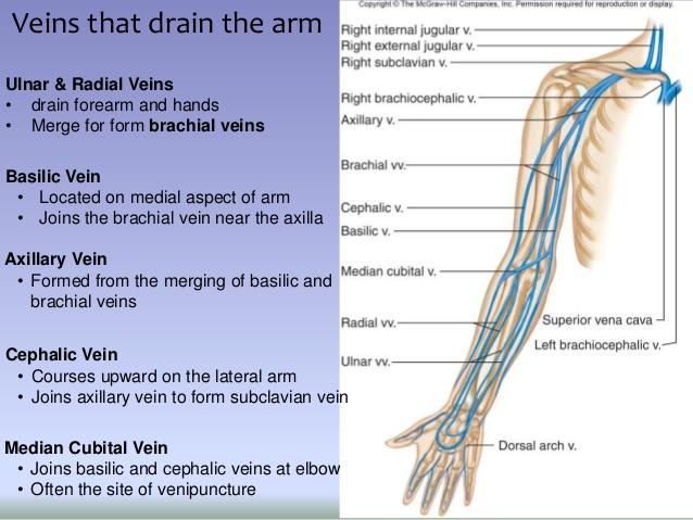 Brachial veins
