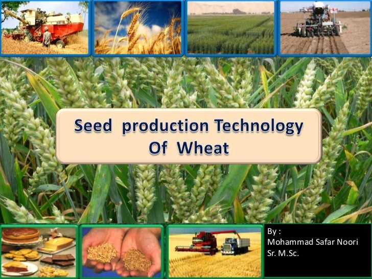 Seed  production Technology<br />Of  Wheat<br />By :<br />Mohammad Safar Noori<br />Sr. M.Sc.<br />