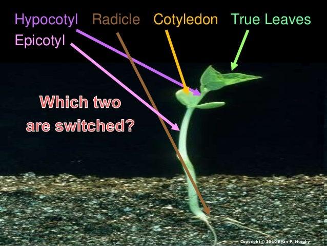 Hypocotyl Radicle Cotyledon True Leaves Epicotyl Copyright © 2010 Ryan P. Murphy