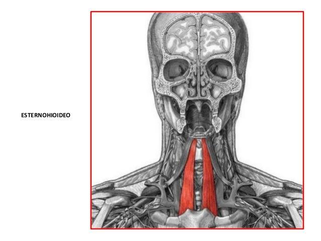 Segmento ii anatom a del cuello tri ngulos for Esternohioideo y esternotiroideo