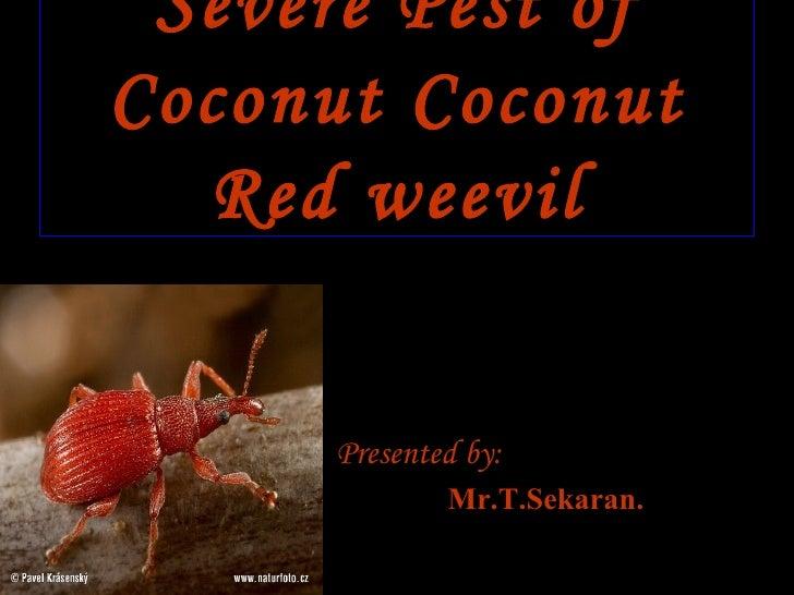 Severe Pest of Coconut Coconut Red weevil <ul><li>Presented by: </li></ul><ul><li>Mr.T.Sekaran. </li></ul>