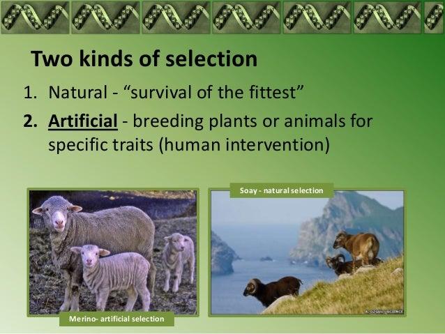 natural selection vs human intervention