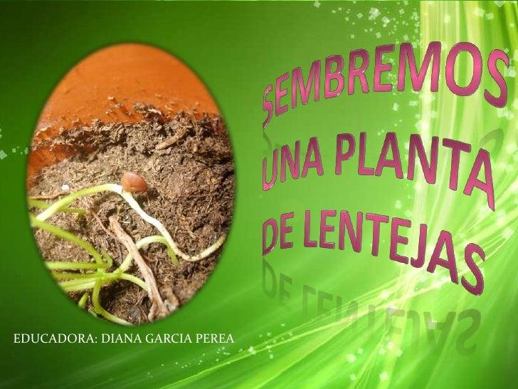 SEMBREMOSUNA PLANTA DE LENTEJAS<br />EDUCADORA: DIANA GARCIA PEREA<br />