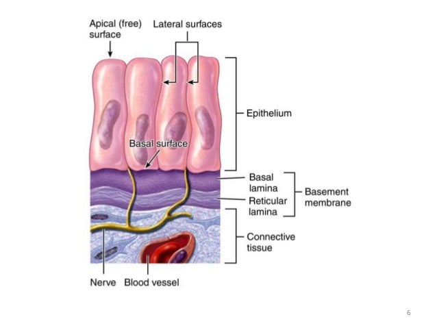 386113368024713627 as well Eye Anatomy additionally Diagnosis also Epithelium In General in addition 7691916. on general body cavities