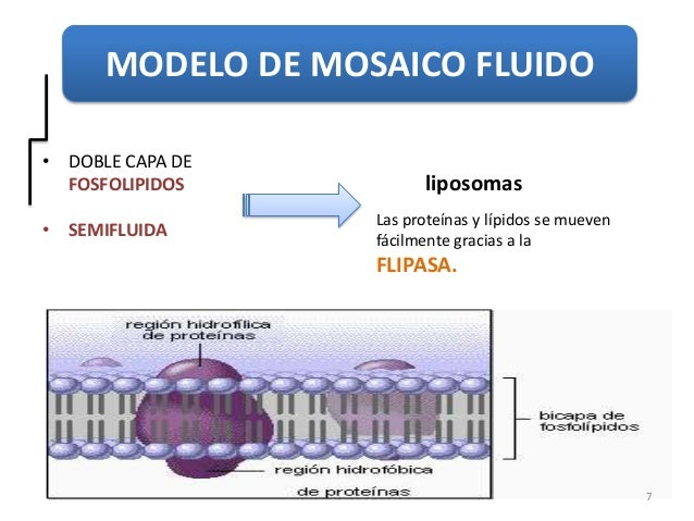 Doble Capa de Fosfolipidos