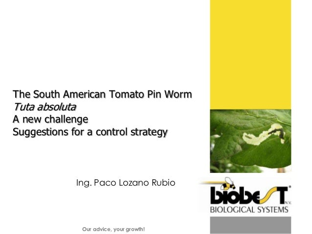 The South American Tomato Pin Worm Tuta absoluta A new challenge  Suggestions for a control strategy