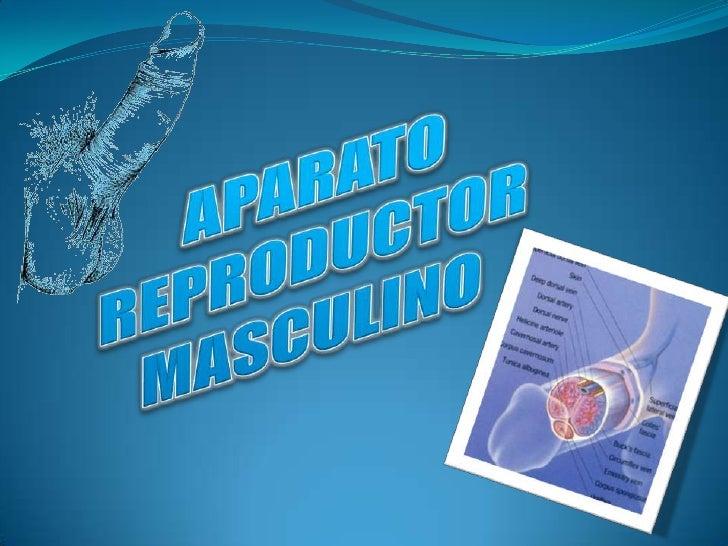 APARATO REPRODUCTOR MASCULINO<br />