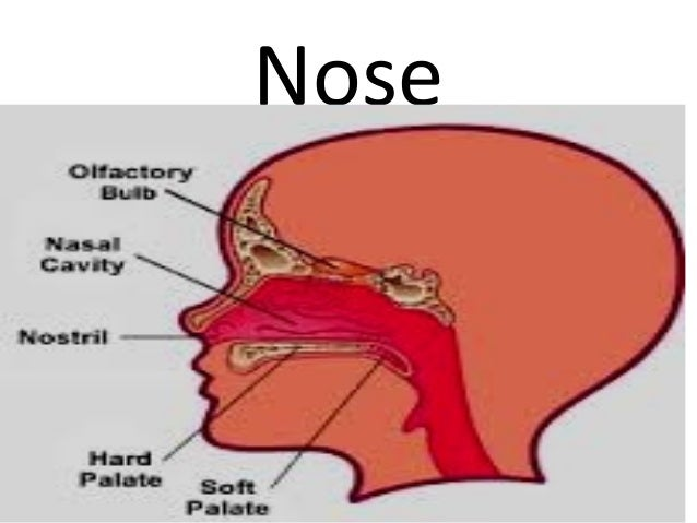 Parts Of The Human Nose