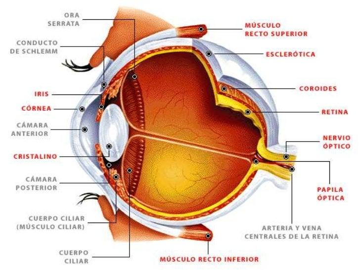 V. 1 La vista - Anatomia de Sistema Nervioso y Órganos de los ...
