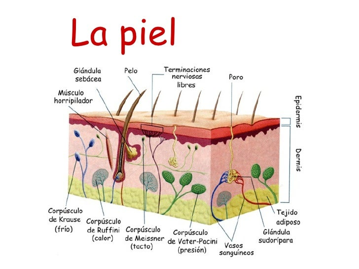 Corte transversal de la piel con us partes