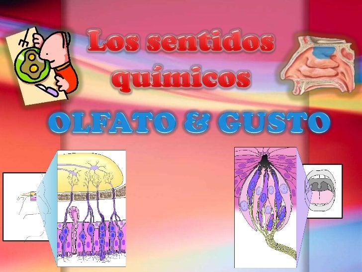 Los sentidos químicos<br />OLFATO & GUSTO<br />