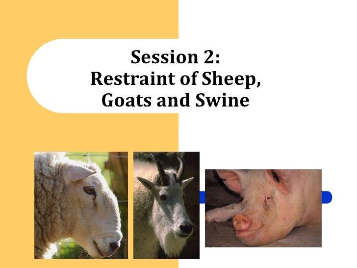 Session 2   Restraint Principles   Sheep