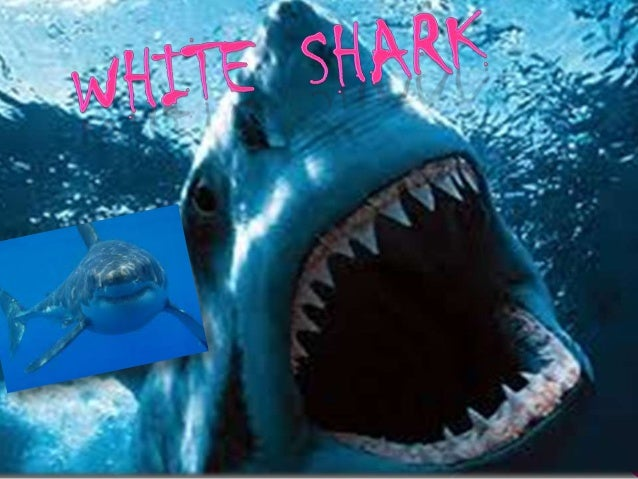 The White shark can measure length 5 to 8 meters,whille females are larger than male.They weigh about 3,00kg.the top and s...