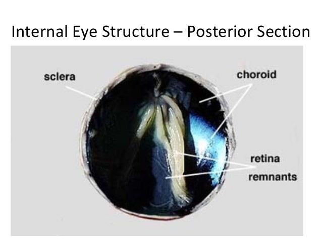 Anatomy of sheep eye