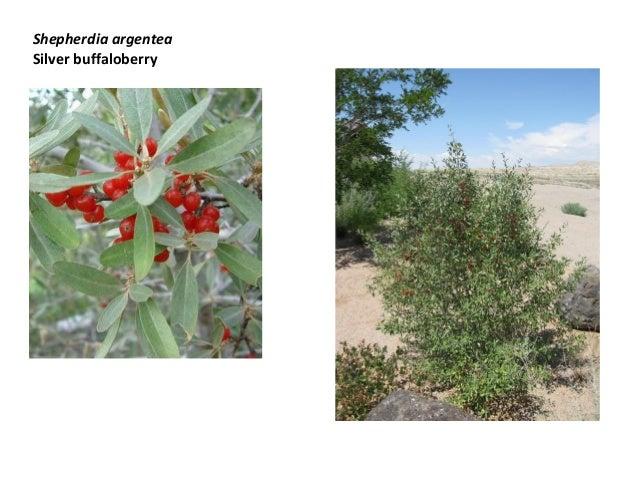 Shepherdia argentea   web show