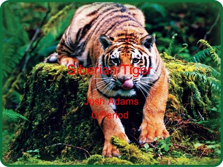 Josh Adams 0 Period  Siberian Tiger
