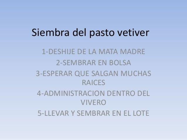 Siembra del pasto vetiver 1-DESHIJE DE LA MATA MADRE 2-SEMBRAR EN BOLSA 3-ESPERAR QUE SALGAN MUCHAS RAICES 4-ADMINISTRACIO...