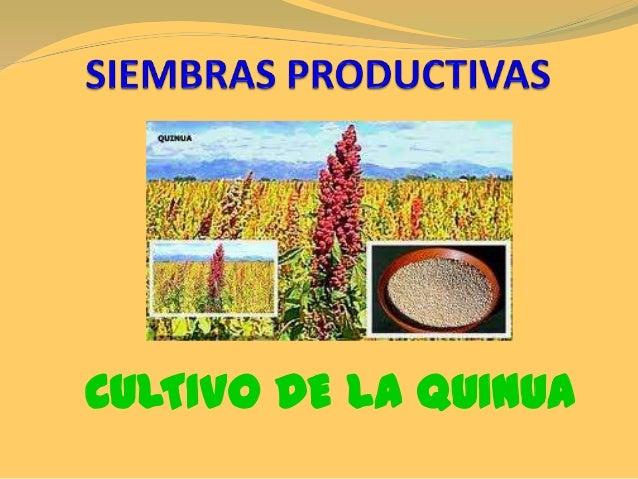 SIEMBRAS PRODUCTIVAS: CULTIVO DE QUINUA