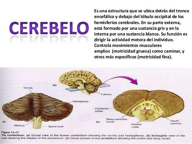 Es una estructura que se ubica detrás del tronco encefálico y debajo del lóbulo occipital de los hemisferios cerebrales. E...