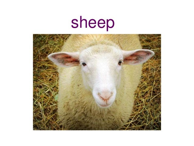 Sheep Singular Singular and Plural no...