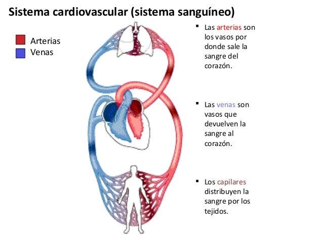 Circuito Que Realiza La Sangre : Sist circulatorio sanguineo
