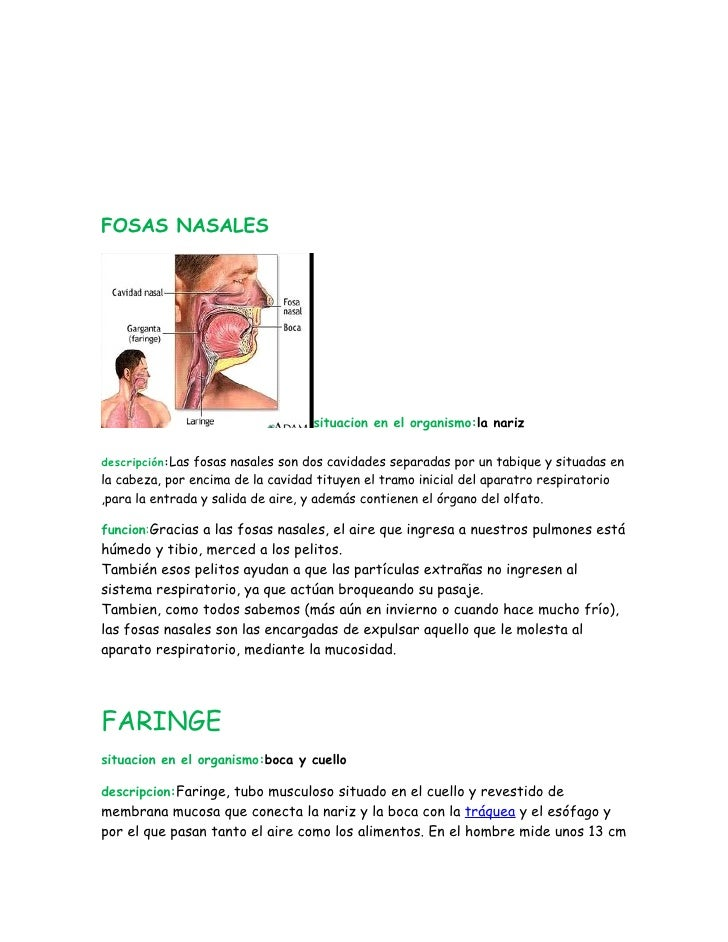 FOSAS NASALES                                   situacion en el organismo:la narizdescripción:Las fosas nasales son dos ca...