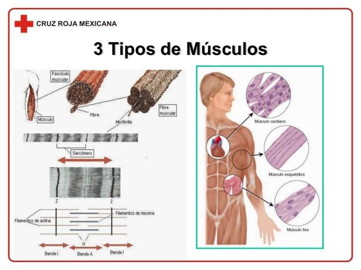 Músculos : Tipo de Músculos