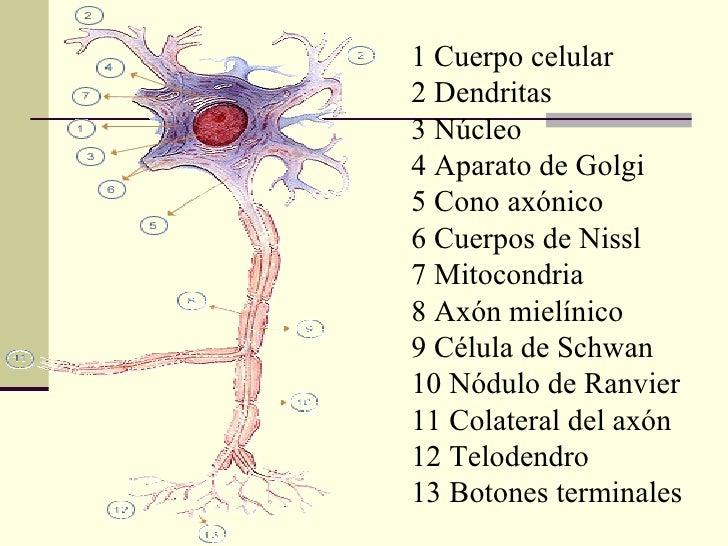 1 Cuerpo celular2 Dendritas3 Núcleo4 Aparato de Golgi5 Cono axónico6 Cuerpos de Nissl7 Mitocondria8 Axón mielínico9 Célula...