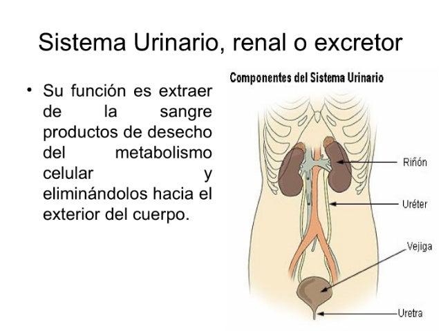 Sistema Urinario,  renal o excretor  _ ,  Componentes del Sistema Urinario * Su funcIon es extraer  de Ia sang re _ #me   ...