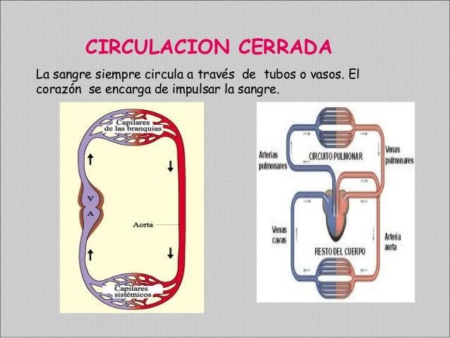 Circuito Que Realiza La Sangre : Sistema circulatorio profesora hilda fermin