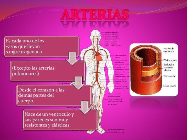Es cada uno de los  vasos que llevan  sangre oxigenada  (Excepto las arterias  pulmonares)  Desde el corazón a las  demás ...
