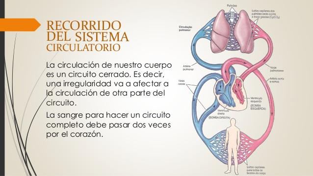 sistema-circulatorio-7-638.jpg ...