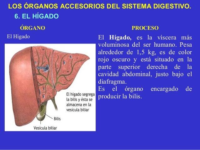 Sistema digestivo primaria for En k parte del cuerpo esta el higado